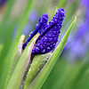 Dew Covered Iris Buds