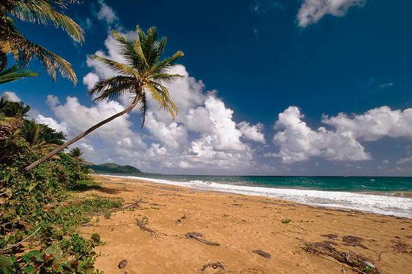 Palm Tree on Maunabo Beach, Puerto Rico