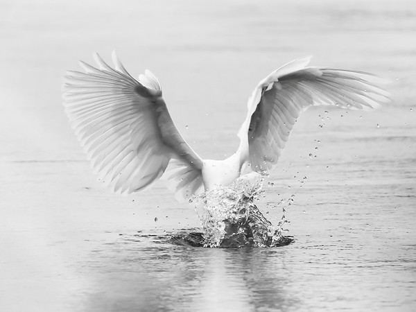 Strike of the Great Egret