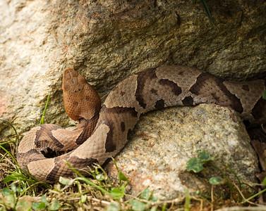 RME_Reptiles_Amphibs_Snakes_002_20130712-2