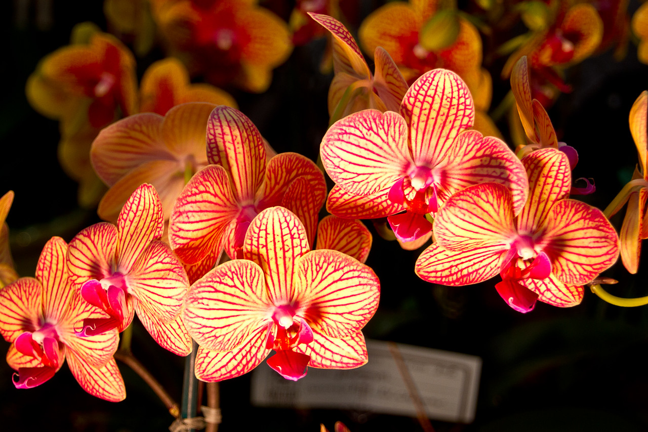 SF_Orchid_Show-42.jpg