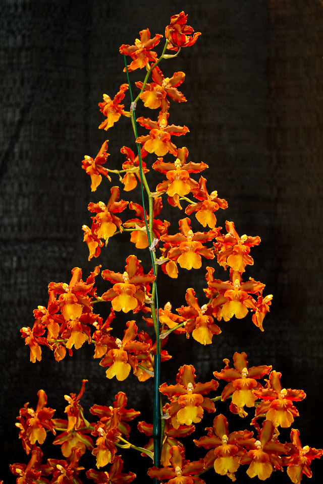 SF_Orchid_Show-19.jpg