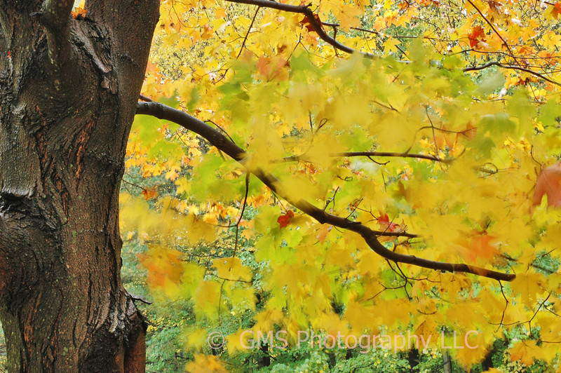 Wind blowing foreground autumn leaves on tree in Holmdel Park, Holmdel New Jersey, creates an abstract and interesting contrast to stationary leaves in background.