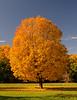 Golden Tree Of Autumn