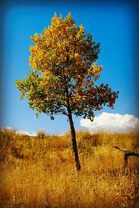 Lone Aspen at Staunton State Park