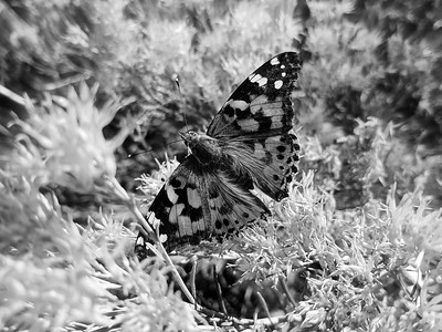 Painted Lady Butterfly, #1, B&W
