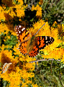 Painted Lady Butterfly, #2