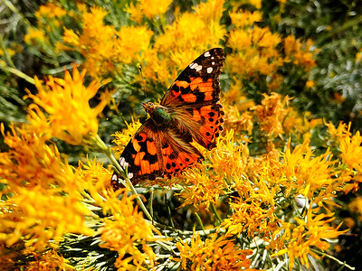 Painted Lady Butterfly, #1