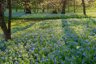 Carpet of Bluebells & One Daffodil