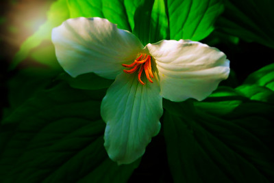 """Angel Golden Hair"" Trillium"