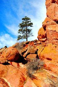 A Lone Pine at Red Rocks Park