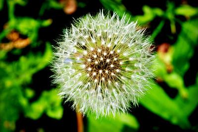 Dandelion Explosion