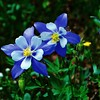 """Color-Pop"" Colorado Columbine"