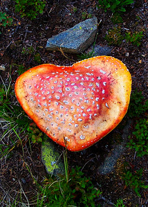 Beautiful yet poisonous, Amanita muscaria mushroom