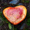 Beautiful yet poisonous, Amanita muscaria mushroom