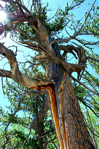 Aged Bristlecone Pine with Sun Star