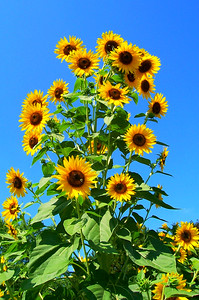 Dahlstrom's Sunflowers