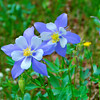 Columbine, Colorado's State Flower