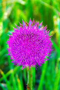 Canadian Thistle Color Burst