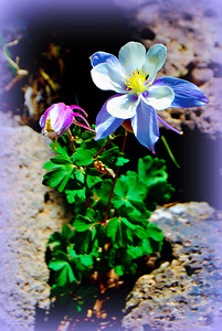 Colorado Columbine 'Tween Rocks