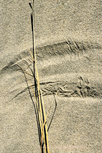 Wind acting on isolated weed creates design in sand at Sandy Hook, New Jersey