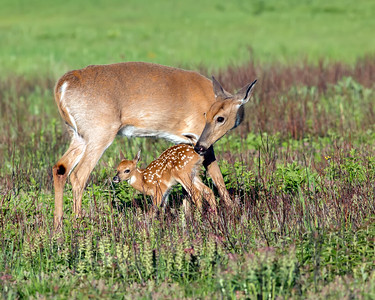 Doe and Fawn_01