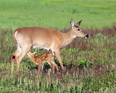 Doe and Fawn_03