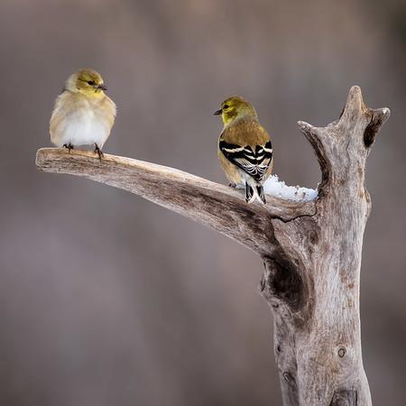 RME_Songbirds_in_Snow_Mar2015_471_20150127