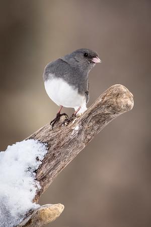 RME_Songbirds_in_Snow_Mar2015_625_20150127_CS5