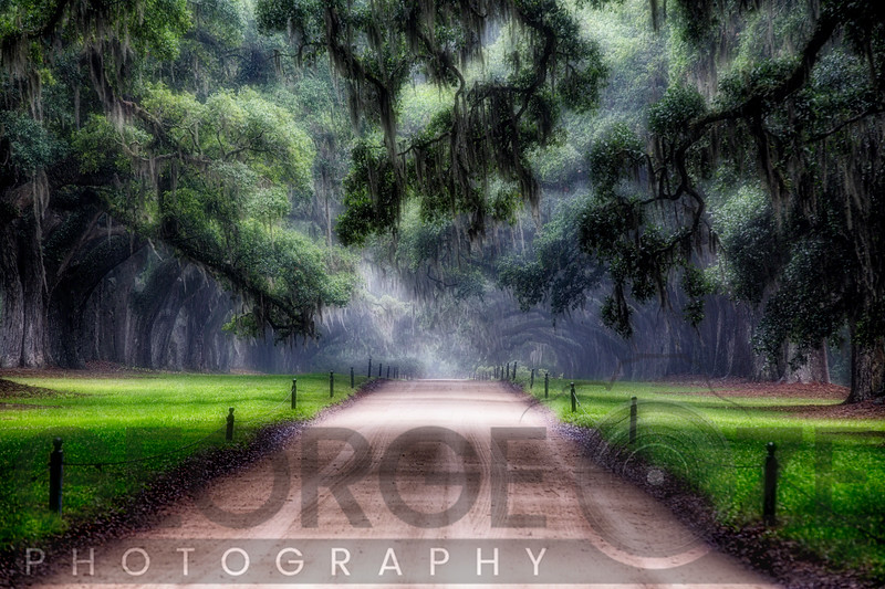 Oak Trees Branching Over a Country Road, Avenue of Oaks, Boone Hall Plantation, Mt Pleasant, South Carolina