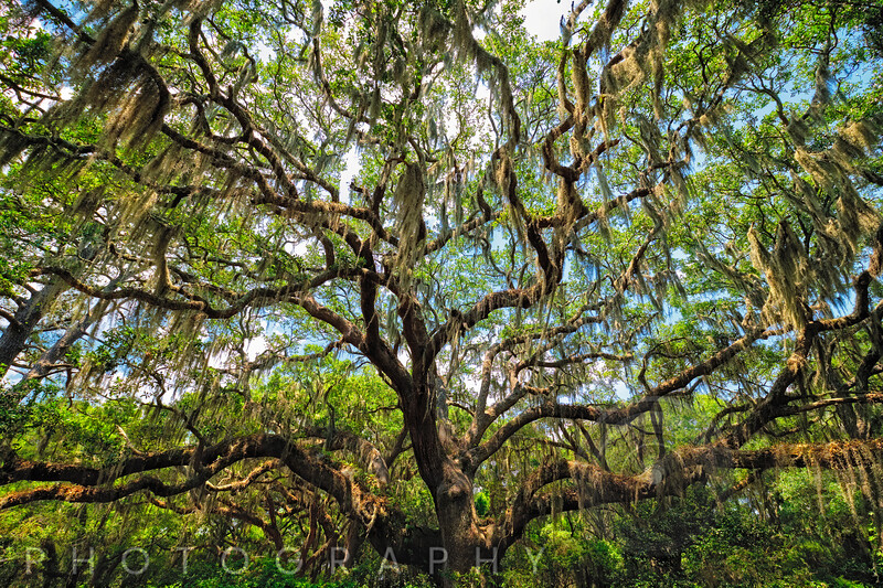 Live Oak Tree Canopy with Spanish Moss, Charleston, Sout Carolina