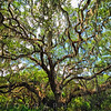 Live Oak Tree Canopy with Spanish Moss, Charleston, Sout Carolina