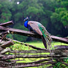 A Male Indian Peacock Resting on a Wooden Fence, Magnolia Panatation, Chrleston, South Carolina