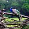 A Male Indian Peacock Resting on a Wooden Fence, Magnolia Panatation, Chrleston, South Carolina