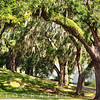 Live Oak Trees of Middleton Place