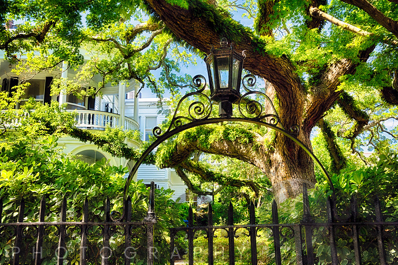 Giant Ivy Covered Live Oak Tree in a Villa Garden, Historic District, Charleston, South Carolina