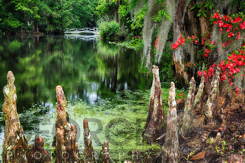 Swamp Cypress Roots Along A Pond with a White Footbridge, Magnolia Plantation, Charleston, South Carolina