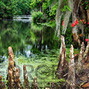 Swamp Cypress Roots Along A Pond with a White Footbridge, Magnolia Plantation, Charleston, South Carolina