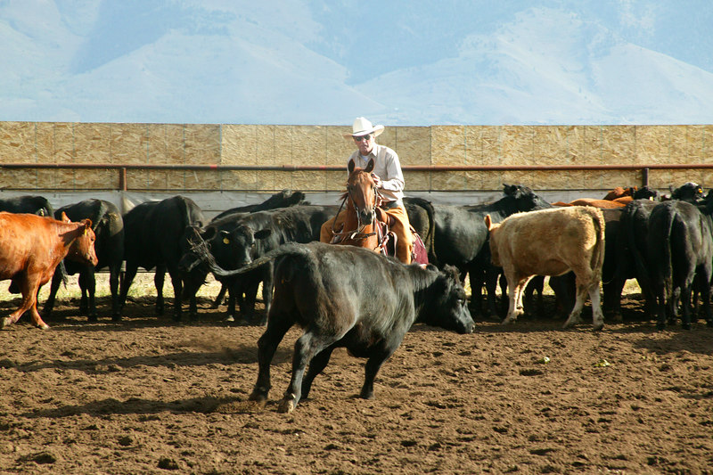 Horse Cutting competition, Meadow Vue Ranch, Henry's Lake,  Idaho Sep 2, 2005 print at 12 x 8 Horse