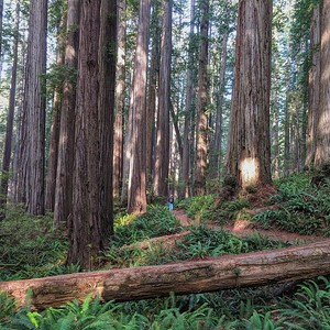 Tree Grandeur, Jebediah Smith Redwoods State Park, California, Square Image