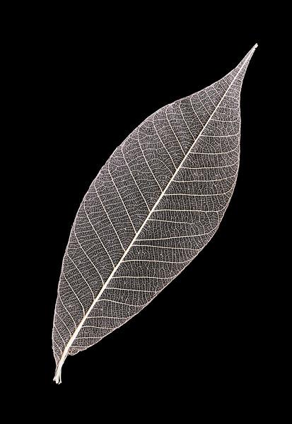 Solitary Skeleton Leaf