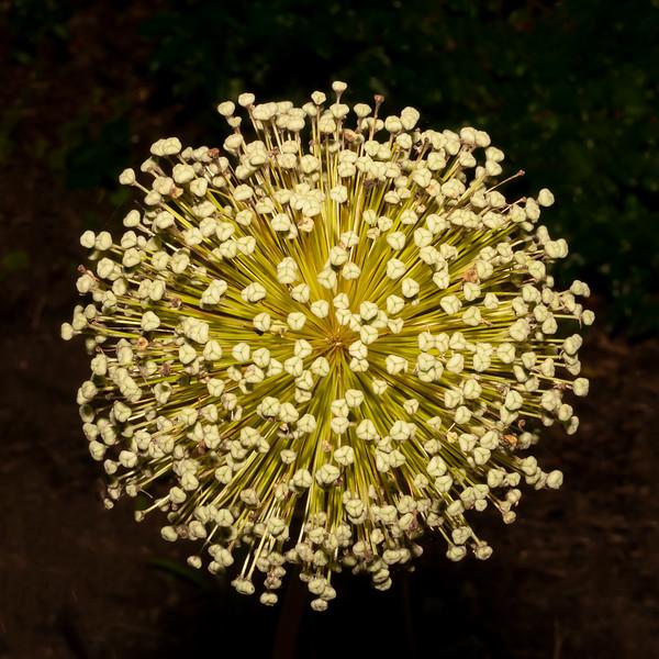 Post Bloom Allium