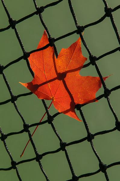 Autumn Leaf In Net
