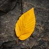 Autumn Leaf On The Rock