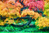 Painterly Japanese Maple Tree