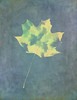 Leaves Through Maple Leaf On Texture 3