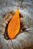 Resting Autumn Leaf