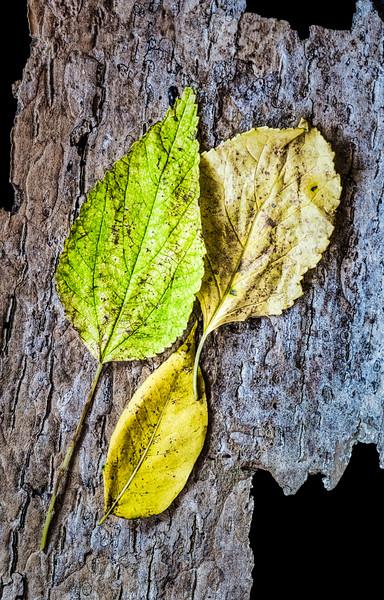 Three Autumn Leaves On Bark
