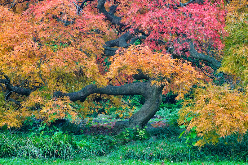 A beautiful Japanese Maple in autumn at the Aboretum in Holmdel Park, Holmdel, New Jersey.