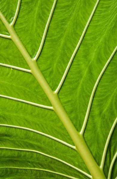Patteerns Between The Leaf veins